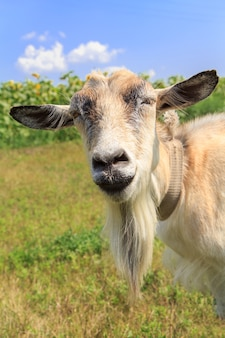 Close up portrait of goat with beard grazing in the field on a summer day
