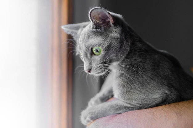 Close up portrait of gray colored cat with deep big green eyes. korat cat resting. animals and adorable cats concept. macro selective focus. pet shelter