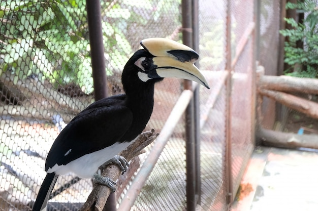 Close up portrait of a great hornbill