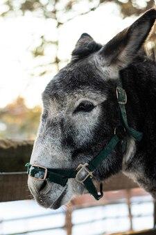 Close up portrait of a grey donkey