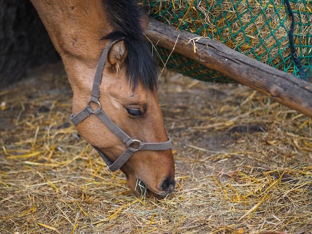 Close up portrait of the head of a horse that eats hay Premium Photo