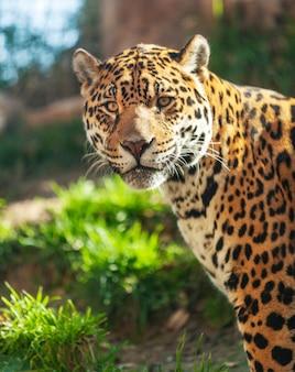 Close-up portrait of a jaguar