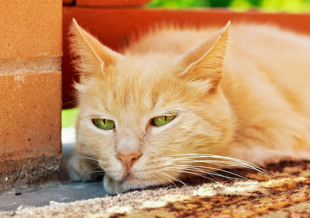 Close up portrait of lazy cat standing outside