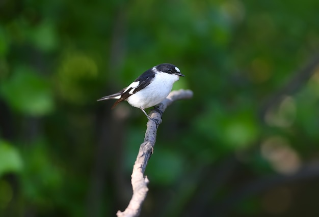 Close-up portrait of a male collared flycatcher (ficedula albicollis) sitting on a branch