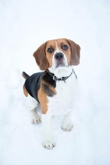 冬のビーグル犬の肖像画をクローズアップ
