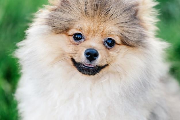 Крупным планом портрет красивого щенка померанского шпица с милой улыбкой в парке