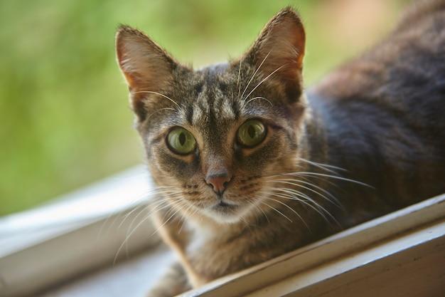 回復のポイントに向かって見つめている盲目的に混血の猫のクローズアップの肖像画