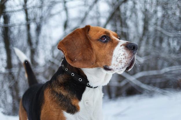 겨울에 카리스마 비글 강아지의 초상화를 닫습니다, 옆으로 보이는 초원에 서