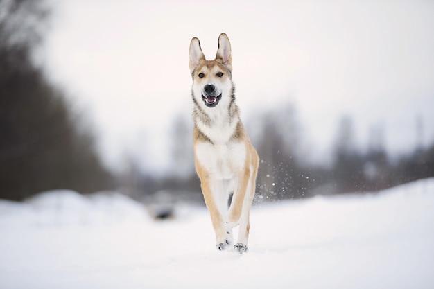 눈 덮인 겨울에 귀여운 혼합 품종 개 초상화를 닫습니다. 개는 눈 속에서 뛰어 놀고 있습니다.