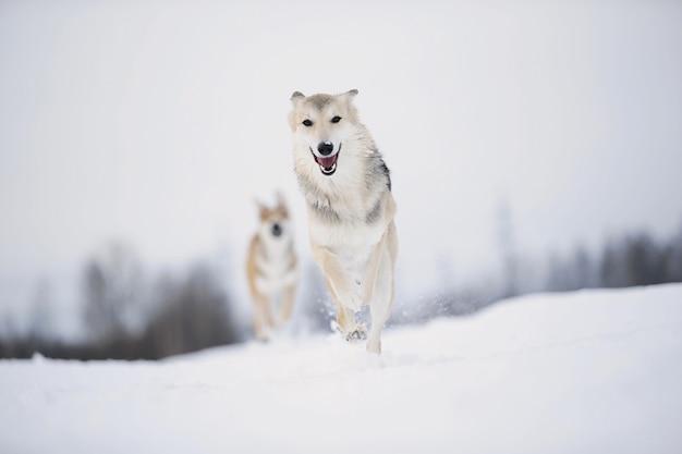 雪の降る冬のかわいい雑種犬の肖像画をクローズアップ。犬が走って雪の中で楽しんでいる