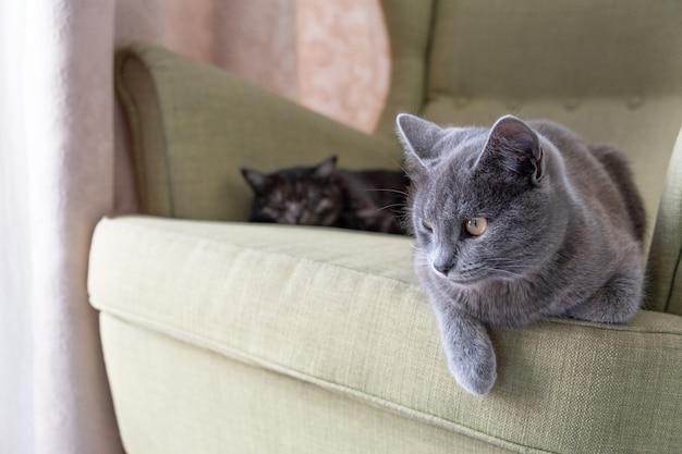 緑の肘掛け椅子に座っている国産の灰色のショートヘアの猫のクローズアップの肖像画。家に2匹の猫。動物病院、動物飼料、猫のブログの画像。