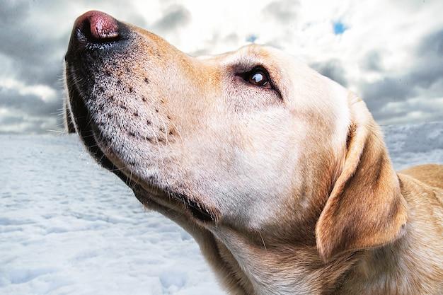 雪原の散歩でゴールデンラブラドールの肖像画をクローズアップ犬は脇にいます