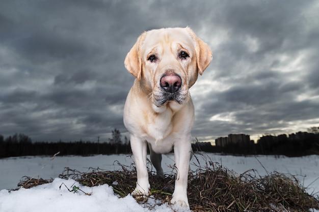 雪原を散歩して、黄金のラブラドールの肖像画をクローズアップ