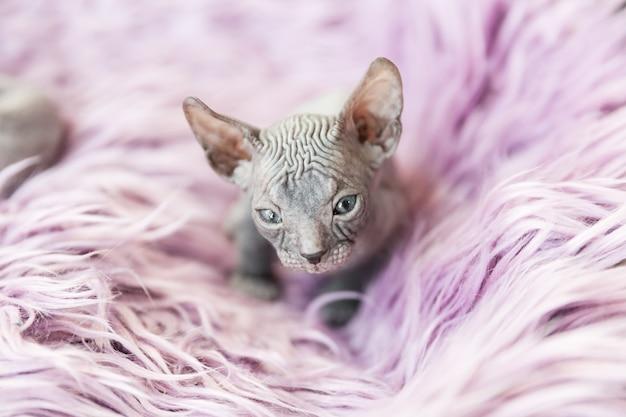 ライラックの毛皮に灰色の生後1ヶ月のドンスフィンクス猫の肖像画を間近します。