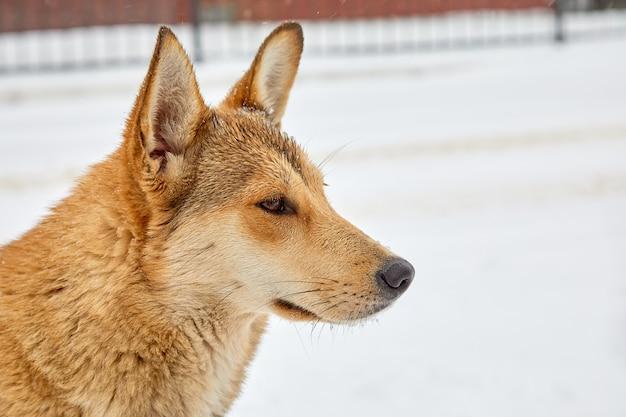 Портрет конца-вверх собаки шавки в профиле против белой предпосылки снега. грустная бездомная собака бродит по сугробам в зимний день