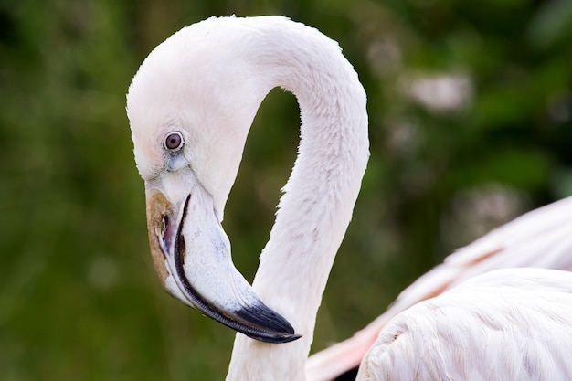Макро портрет розового фламинго с мощным клювом