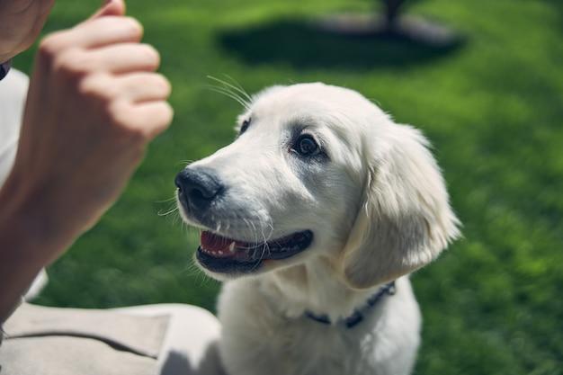 Крупным планом портрет довольной домашней собаки, смотрящей на ее кавказскую хозяйку, сжавшую кулак