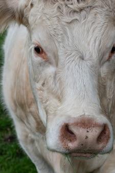 Крупным планом портрет сладкой белой коровы, смотрящей в камеру