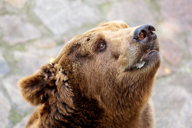 Закройте вверх по портрету взрослого бурого медведя ursus arctos.
