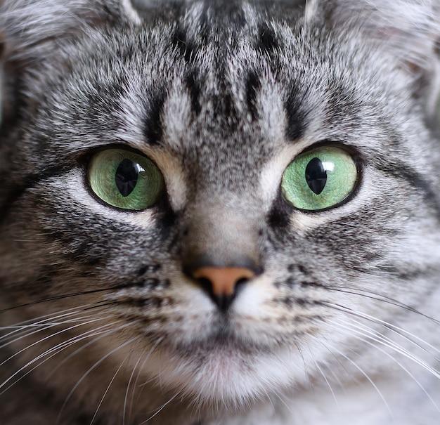 緑の目を持つ美しいアメリカンショートヘアの猫のクローズアップの肖像画。