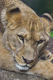 カメラ、高角度のビューを見て美しい成熟した女性のアフリカの雌ライオンの肖像画をクローズアップ