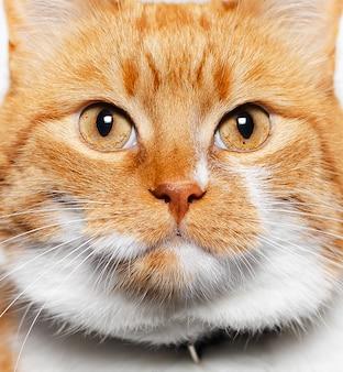 金色の目を持つ美しい赤白猫のクローズアップの肖像画。