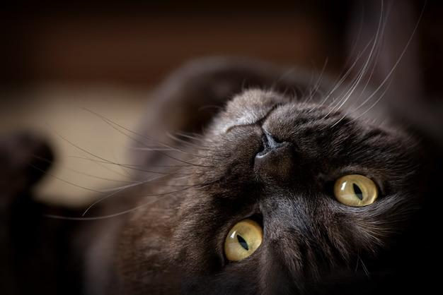 Крупным планом портрет черной кошки с желтыми глазами