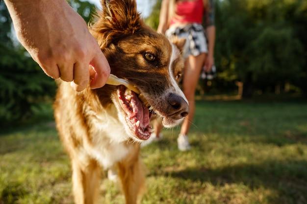 公園でボーダーコリー犬の肖像画をクローズアップ