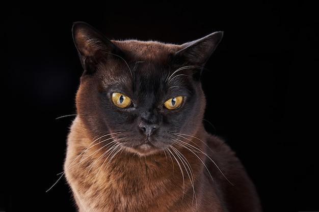 チョコレートの毛皮の色と黒に黄色の目を持つ茶色のビルマ猫のクローズアップの肖像画。
