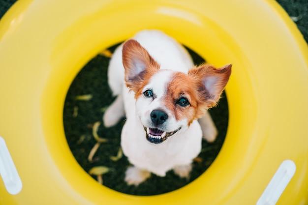 クローズアップ黄色の膨脹可能なドーナツ、夏の時間の上に座ってかわいいジャックラッセル犬の肖像画