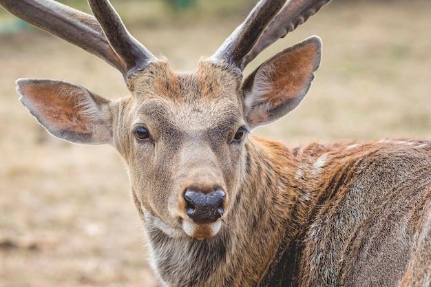鹿の肖像画をクローズアップ鹿は恐ろしく振り返る