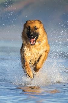 水の上を走る犬の肖像画をクローズアップ