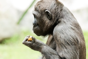 Close-up portrait of gorilla eating fruit