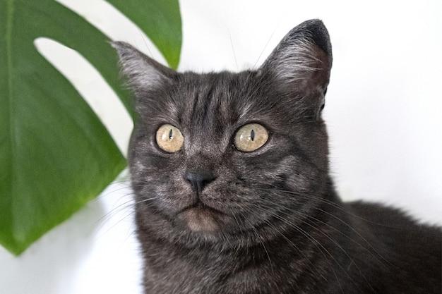 Макро портрет серой домашней кошки с монстера домашних растений. кошка и растения. изображение для ветеринарных клиник, сайтов о кошках