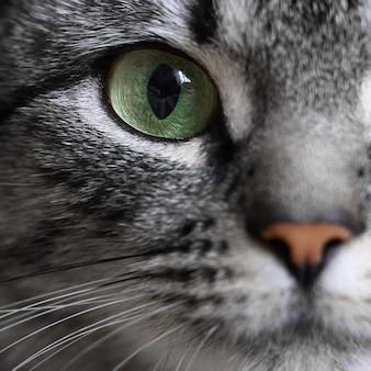 灰色のアメリカンショートヘアの猫の緑色の目のクローズアップの肖像画。