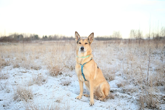 Крупным планом портрет счастливый рыжий дворняга сидит и смотрит в камеру на зимнем поле на рассвете.