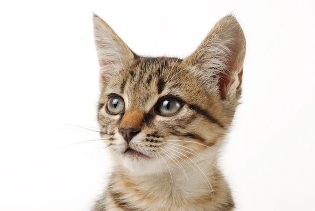 白い背景の上の小さなかわいいぶち子猫のクローズアップの肖像画