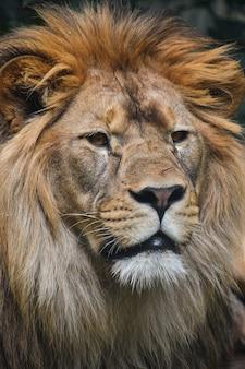 男性のアフリカのライオンの肖像画をクローズアップ
