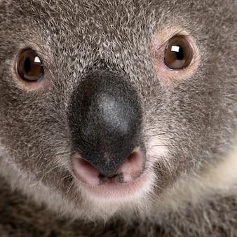 Портрет крупного плана самца медведя коалы, phascolarctos cinereus,