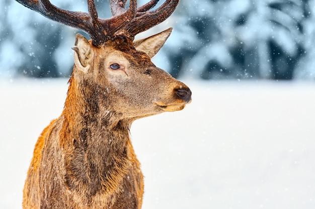 フィンランド、ラップランド、ロヴァニエミの雪と冬の森に対する高貴な鹿の肖像画をクローズアップ。クリスマス冬の画像。
