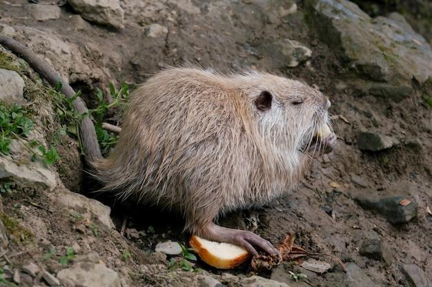 동물원에서 빵을 먹는 뉴트리아의 초상화를 닫습니다