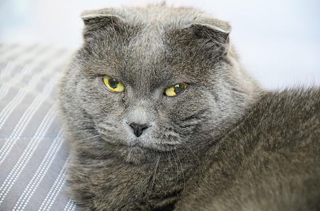 Крупным планом портрет старой серой британской короткошерстной кошки с большими зелено-желтыми глазами. смотрю в камеру.