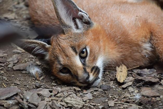 地面に休んで、カメラ、高角度のビューを見ている1匹のかわいい赤ちゃんカラカル子猫の肖像画をクローズアップ
