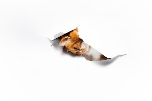白い破れた紙の穴を通して赤い猫の肖像画をクローズアップ
