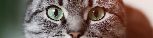 緑の目を持つショートヘアの灰色の猫のクローズアップの肖像画。