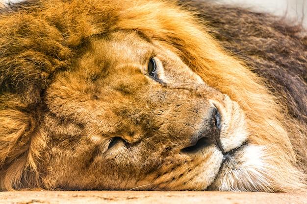 Крупным планом портрет сонный лев