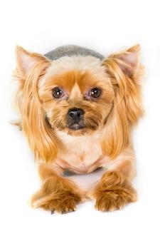 Макро портрет собаки йоркширского терьера