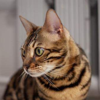 Крупным планом портрет молодой бенгальской кошки в вид сбоку