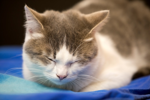 Портрет конца-вверх молодого славного малого милого белого и серого котенка домашней кошки с мечтательным выражением на запачканном черном и голубом walld. держать животную концепцию живой природы любимчика дома.