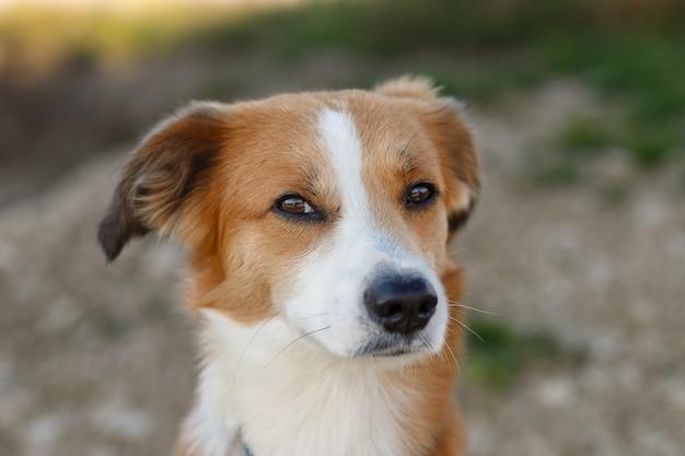 晴れた夏の日に灰色の舗装に座って見上げる若い赤褐色と白の雑種犬の肖像画を閉じます。ぼやけた背景。